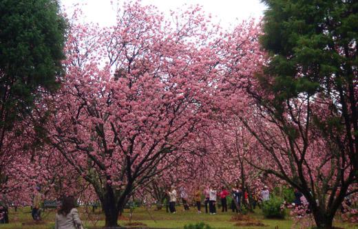 cerejeira-parque-do-carmo